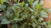 अश्वगंधा (About Ashwagandha or Withania Somnifera) अश्वगंधा के औषधीय गुण