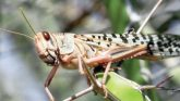 Locust Threat: वायुसेना की मदद लेगी केंद्र सरकार