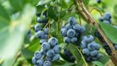 BLUEBERRY: Supplies nourishment to the physique and boosts immunity